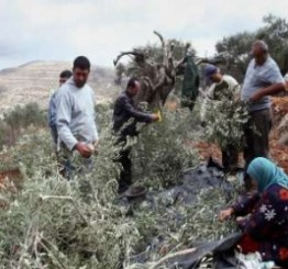 Palestine: Israeli settlers kill 55 Olive trees with toxic chemicals in Nablus