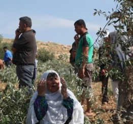 Palestine: 50 Olive saplings uprooted in Bethlehem