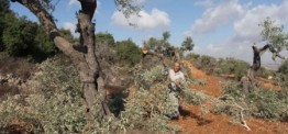 Palestine: Israeli settlers chop down Palestinian-owned orchard near Hebron