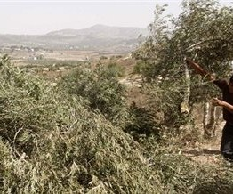 Palestine: Over 150 Olive trees destroyed by Israeli settlers near Nablus